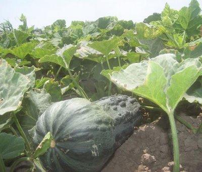 Loche producto agricola lambayecano por origen, calidad y sabor